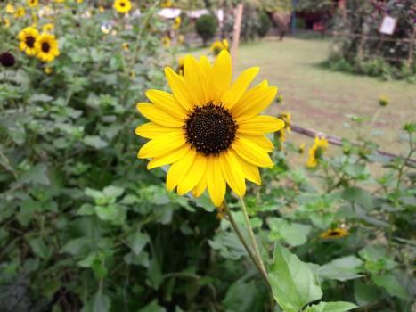 Sunflower Flower Daisy #253018