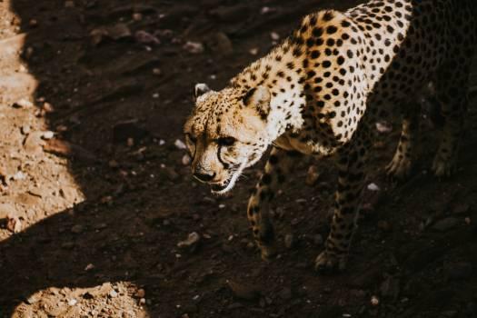 Cheetah Feline Big cat #253067