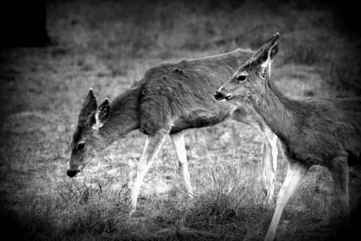 Deer Warthog Caribou #25322