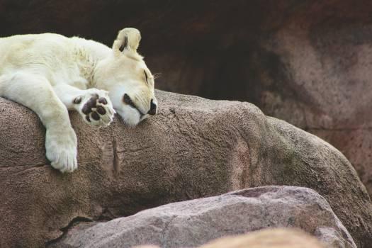 Bear Ice bear Mammal Free Photo
