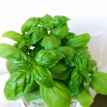 Basil Leaf Herb Free Photo
