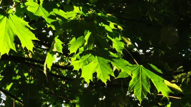Maple Tree Oak #253455