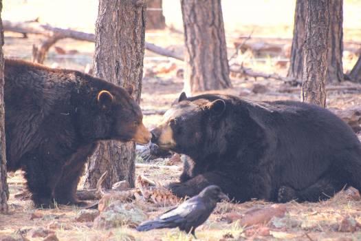 American black bear Bear Bison #25357