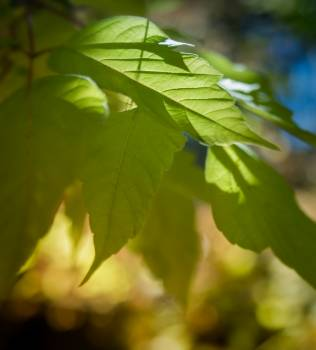 Maple Plant Leaf #253597