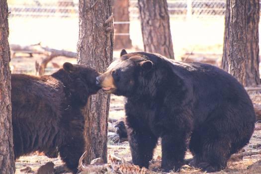American black bear Bear Mammal #25360