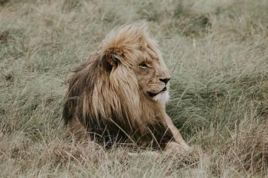 Lion Big cat Feline #254337