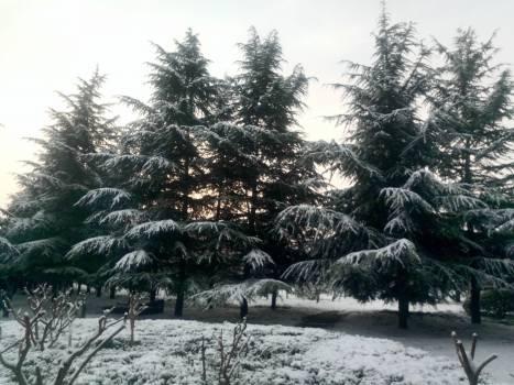 Fir Pine Tree #254643