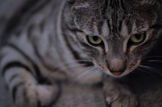 Cat Feline Domestic cat #254769