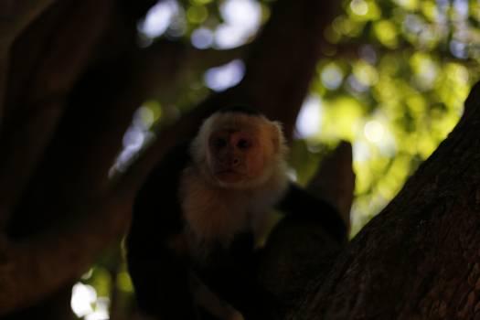 Capuchin Monkey Primate #254813