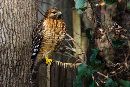 Hawk Free Photo