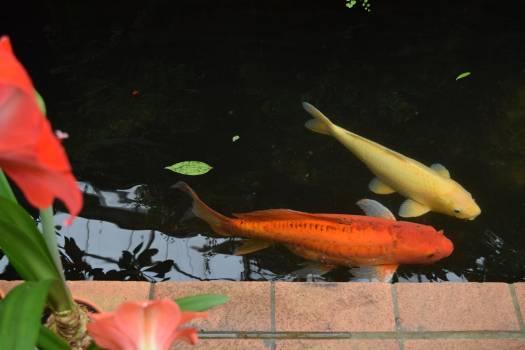 Goldfish Water Pond Free Photo