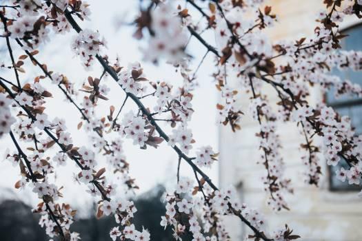Almond Branchlet Tree #255126