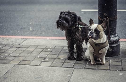 Terrier Schnauzer Hunting dog #255237