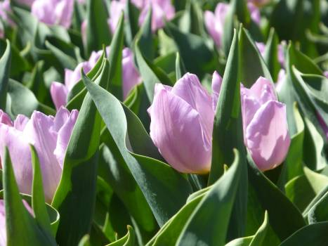 Tulip Spring Flower #255286