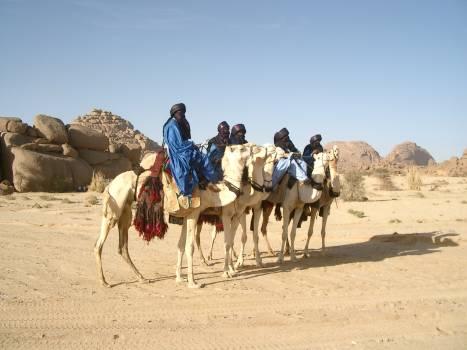 Arabian camel Camel Ungulate #255451