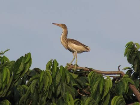 Bittern Heron Wading bird Free Photo