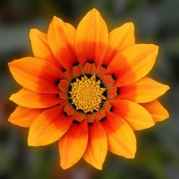 Flower Petal Daisy #255815