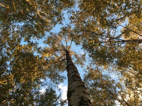 Fir Tree Pine #256042