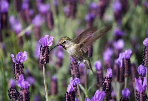 Hummingbird Bird Purple #256623