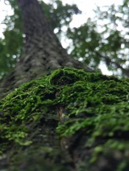 Fir Tree Pine #257087