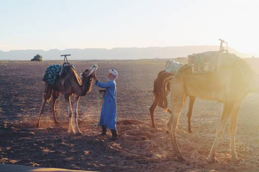 Arabian camel Camel Ungulate #257133