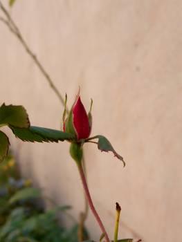 Bud Plant Flower Free Photo