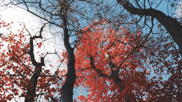 Maple Oak Autumn #257969