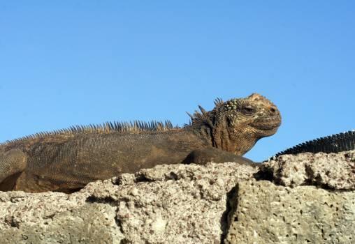 Common iguana Iguanid Rock Free Photo