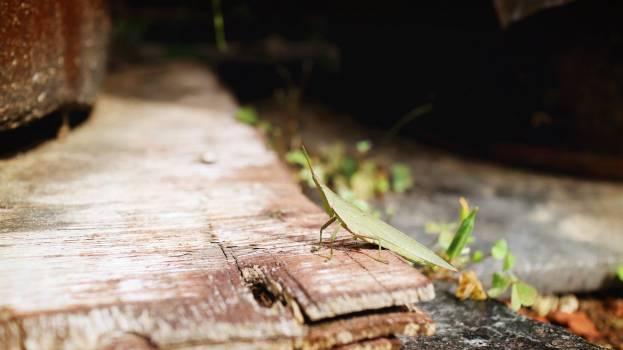 Grasshopper #25800