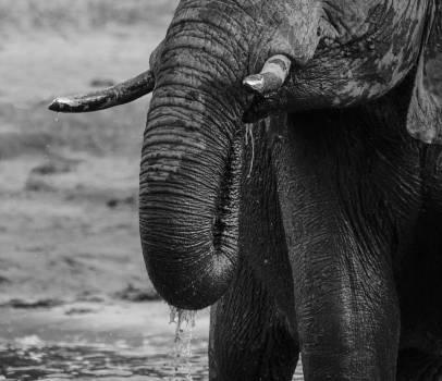 Mammal Elephant Tusker #258110