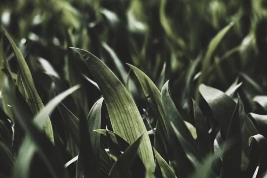 Plant Corn Field #258361