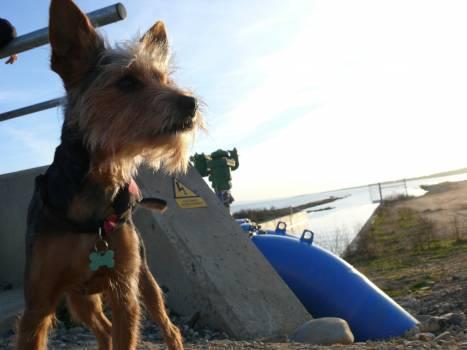 Terrier Hunting dog Dog #258426
