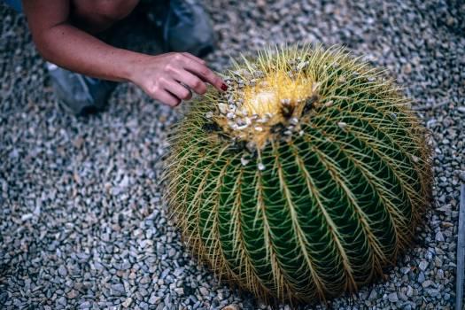 Cactus Sea urchin Plant Free Photo