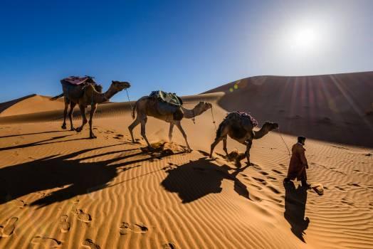 Camel Arabian camel Desert #259124