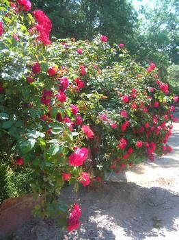 Holly Shrub Garden #259463