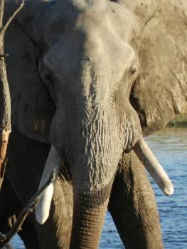 Elephant Mammal Safari #259472
