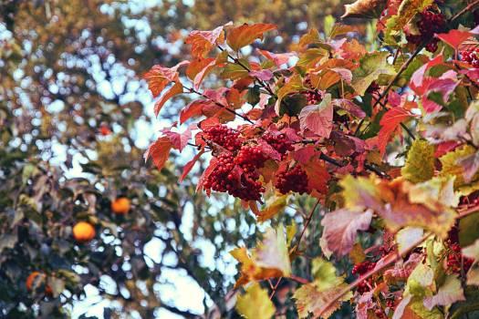 Maple Autumn Leaves #259478
