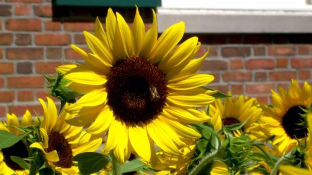 Sunflower Flower Yellow #259665
