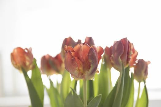 Tulip Tulips Spring #259911