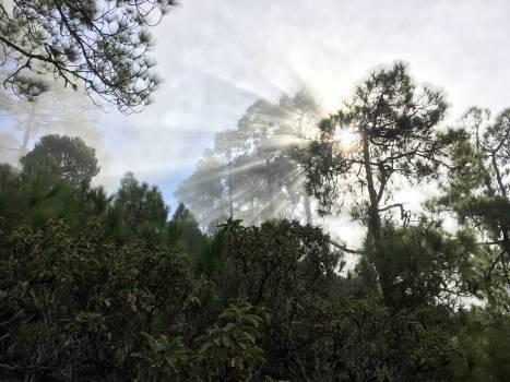 Fir Pine Tree #259962