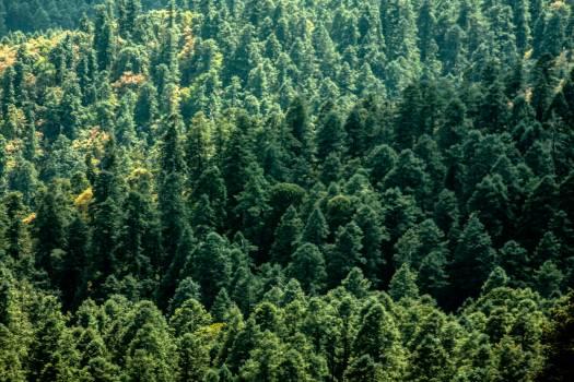 Fir Tree Pine #260228