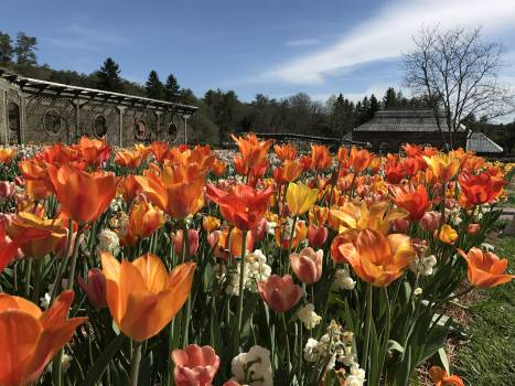 Tulip Tulips Plant #260471