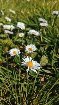 Daisy Flower Chamomile #260627