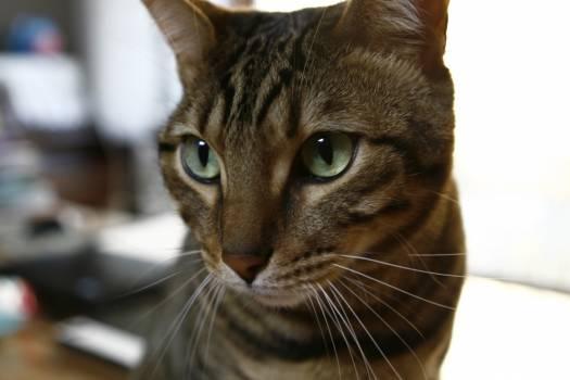 Cat Feline Domestic cat #260673