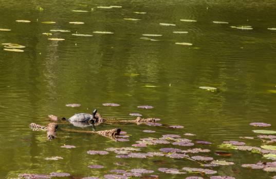 Terrapin Turtle Lake Free Photo