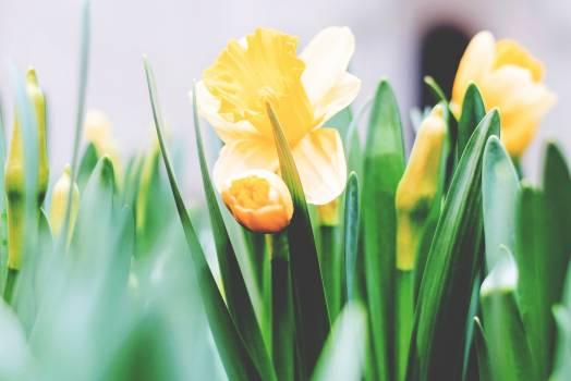 Tulip Spring Flower #260973