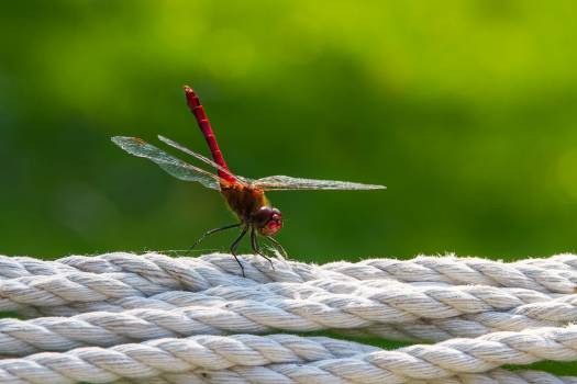 red dragonfly #26100