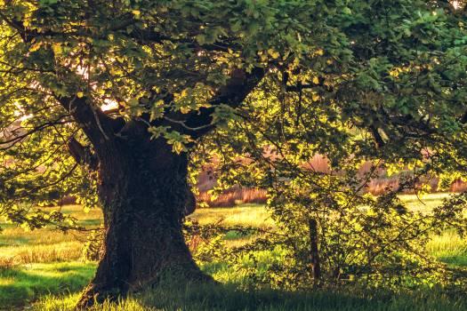 Tree Oak Maple #261707