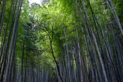 Bamboo Plant Tree #261944