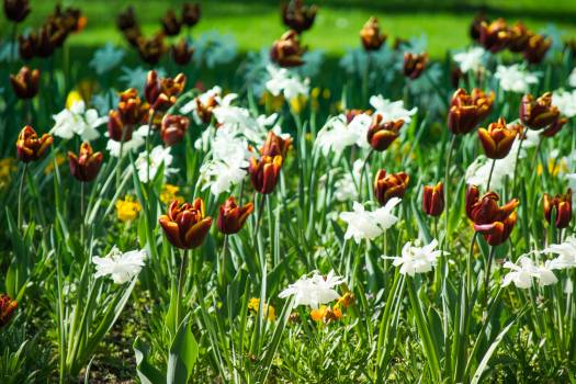 Tulip Spring Flower #262206